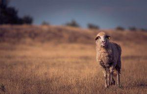 carne de oveja maridar carne
